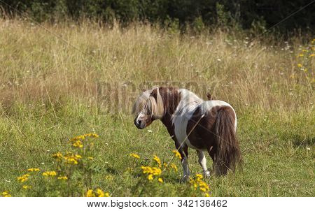 Brown Av White Pony Horse On Flowerful Meadow. Flowers And Grass.