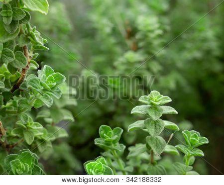 Raw Oregano Herb With Water Drops On It. Green Fresh Oregano Spices. Wild Natural Oregano Seasoning