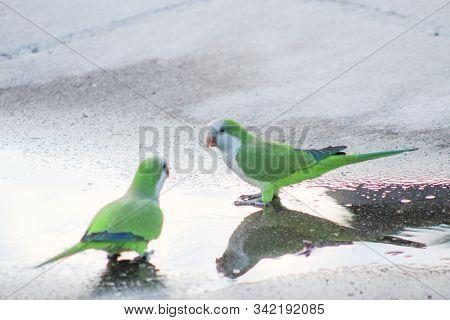 Myiopsitta Monachus - Group Of Green Tropical Birds