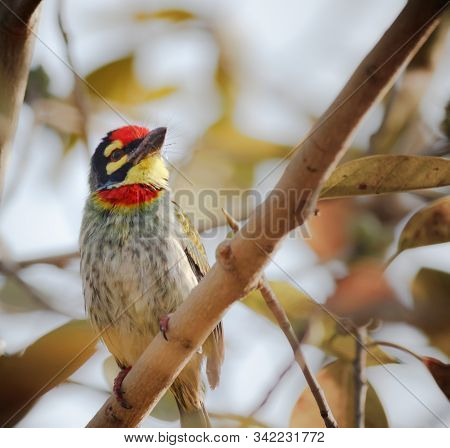 A Coppersmith Barbet Bird Perched On A Branch Eating A Fruit