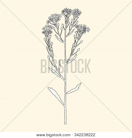 Monochrome Blooming Horseradish On A Yellowish Background. Can Be Used For Cards, Invitations, Adver