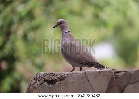 Macro Photo Pigeon Dove Bird. Photo Nature Bird Dove Sit On Ground .white Wild Dove