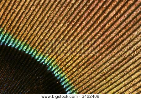 Detail Of A Peacock'S Feather
