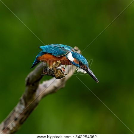 Common Kingfisher (Alcedo atthis) Eurasian Kingfisher preparing to plunge into the water for fishi