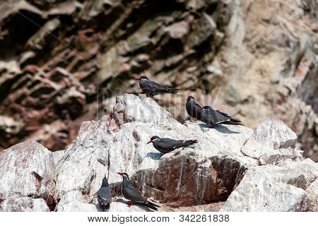 Birds Of Tern Inca On The Island Of Ballestas Islands Of Paracas Within The Paracas District Of The