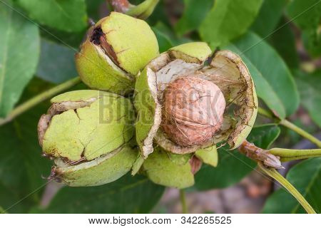 Ripe Walnut Inside His Cracked Green Husk In Nut Cluster Among The Leaves On Walnut Tree In Orchard