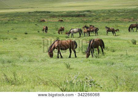 A Herd Of Horses Is Grazed On A Green Meadow. Rural Landscape
