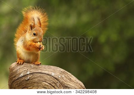 A Red Squirrel (sciurus Vulgaris) Also Called Eurasian Red Sguirrel Sitting In Branch In A Green For