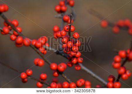 Winterberry Or Ilex Verticillata On A Cold Winters Day. It Is A Species Of Holly Native To Eastern N