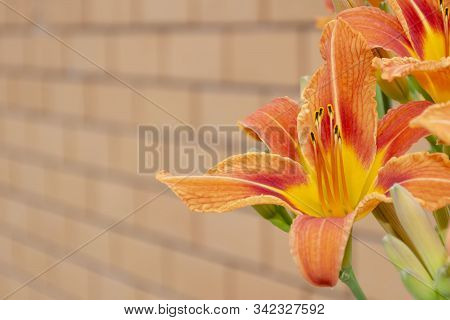 The Flower Of The Daylily Is Brown-yellow Against The Background Of A Yellow Brick Wall. Hemerocalli
