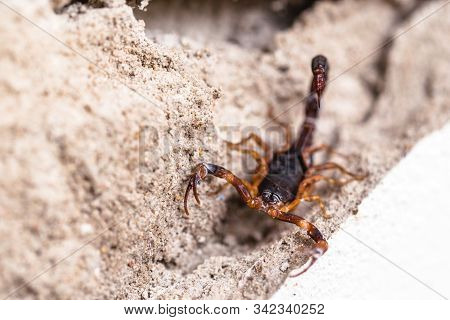 Tityus Bahiensis, Also Known As Black Scorpion, Is A Species Of Scorpion From Eastern And Central Br