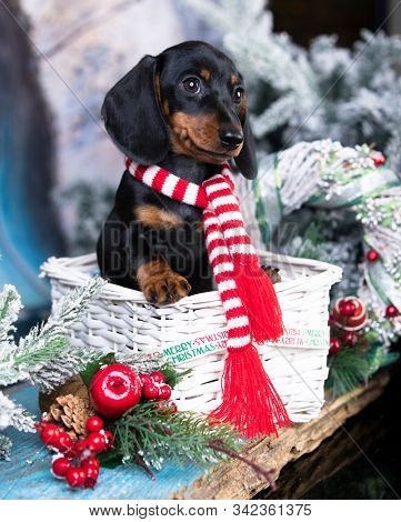 Puppy dachshund; New Year's puppy; Christmas dog;
