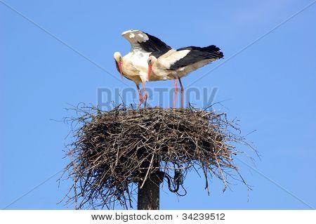 Couple of white storks