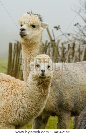 An Alpaca mother and baby