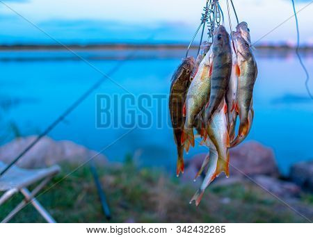 A Lot Of Fish Hanging Perch Caught By Angler Fish Stringer On The Background Of Evening Sunset On Th