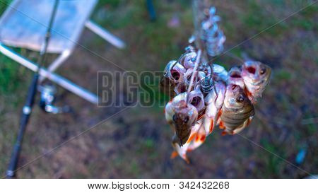 Caught Perch Anglers On Fish Stringer Face Down On The Background Of Grass In The Field Of Fishing R