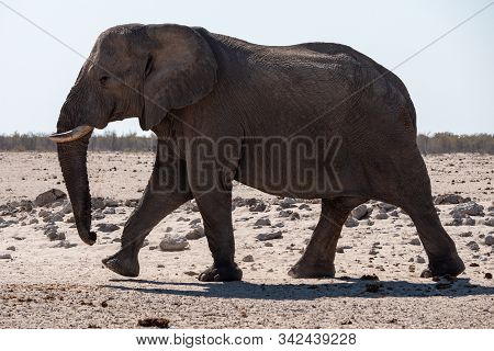 Large Walking Elephant In Etosha National Park, Namibia - A Male Bull With Tusks In A Dry Plain