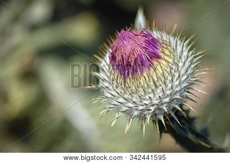 Close Up On Onopordum Acanthium Plant Commonly Known As Cotton Thistle Or Scottish Thistle