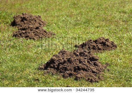 Mole hills in a field of grass poster