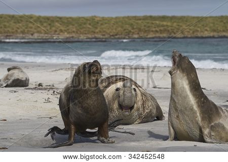 Male Southern Sea Lion (otaria Flavescens) Among A Breeding Group Of Southern Elephant Seal (miroung