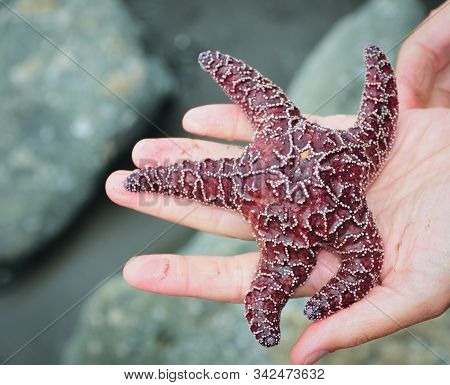 Starfish In A Man's Hand