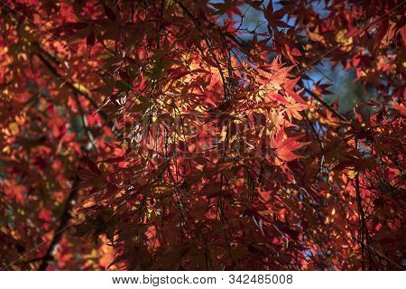 Maple Leaves Change The Color To Seasonal At November And Leaf Lighted Up By Sunshine In The Garden.