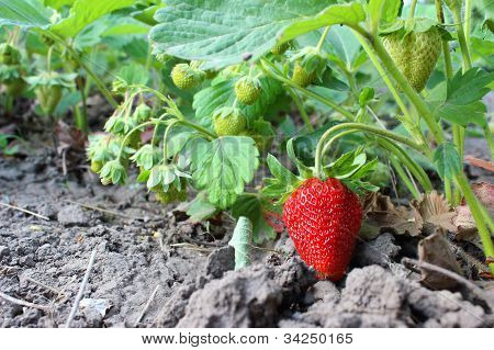 Strawberries In Garden