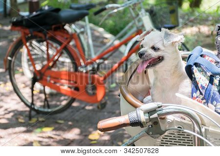 Dog So Cute On Bicycle Basket Wait For Travel
