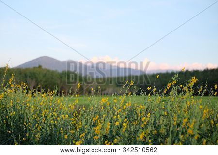 Hemp Flowers And Mountain Background, Na Yong, Trang.