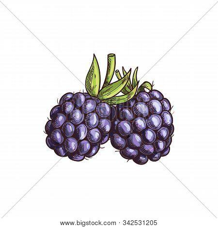 Garden Bramble Berry Isolated Summer Fruit Sketch. Vector Blackberry Food, Forest Berries