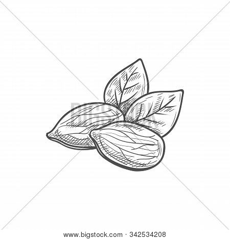 Shelled Almond Seeds Isolated Drupes Of Fruit With Green Leaves Sketch.vector Shelled Drupes Of Frui