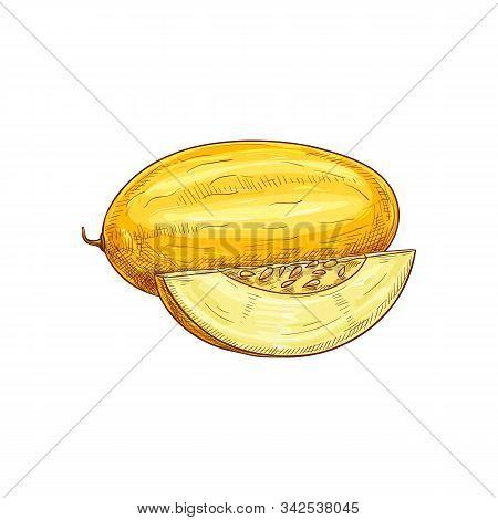 Yellow Ripe Melon Isolated Sketch. Vector Tropical Food Dessert, Muskmelon Fruit