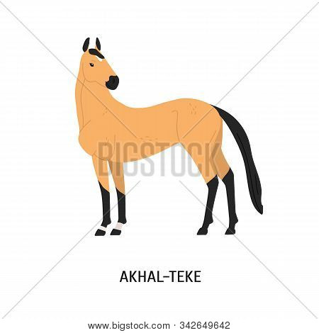 Akhal-teke Breed Horse Flat Vector Illustration. Beautiful Equine, Palfrey, Blood-horse. Hoss Breedi