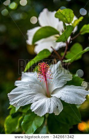 A White Hawaiian Hibiscus In Maui, Hawaii