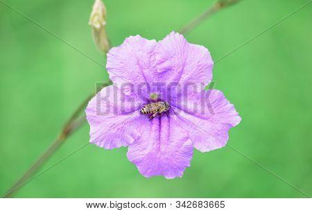 Ruellia Flower (purple Flower Isolated) - Close Up Detail Of Ruellia Flowers, Ruellia Flower Isolati