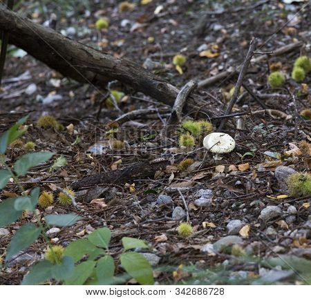 Inedible Mushroom In The Wood During Autumn