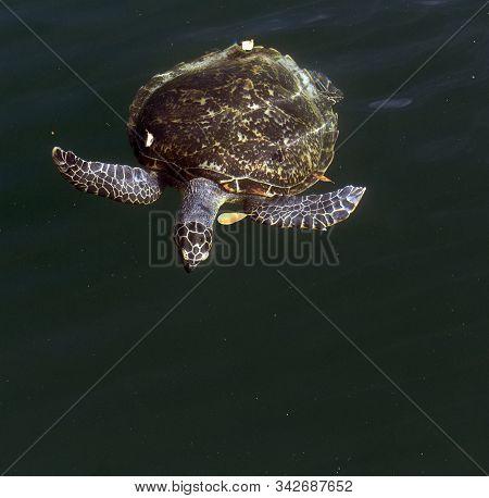 One Caretta Turtle Swimming