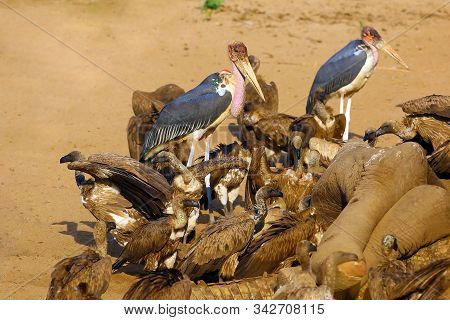 A Flock Of White-backed Vulture (gyps Africanus) And Marabou Stork (leptoptilos Crumenifer) Is Feedi