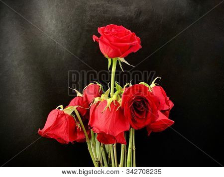 Bouquet Of Withered Red Roses On A Black Background. Roses With Wilted Buds. Concept: Love Wilted.
