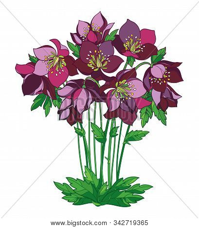 Vector Bouquet Of Outline Hellebore Or Helleborus Or Winter Rose, Bud And Leaves In Pink And Green I