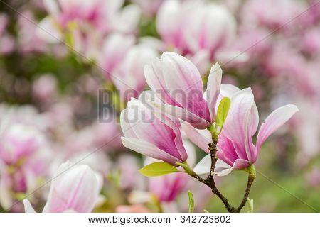 Spring Season. Botany And Gardening. Branch Of Magnolia. Magnolia Flowers. Magnolia Flowers Backgrou