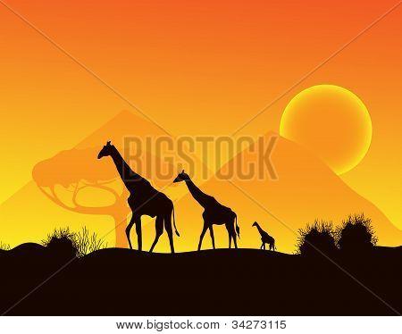 Giraffes walking across the desert