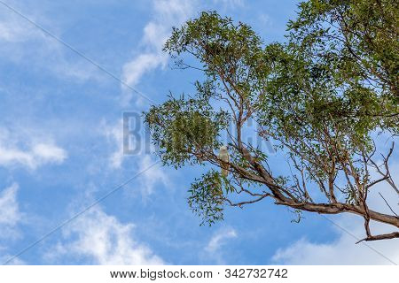 Australian Sulphur Crested Cockatoo Sitting Alone In A Tree With Blue Sky And Light Clouds