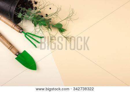 Garden Tools, Plants Of Young Peas And Soil On A Two-color Pastel Background. Gardening Or Planting