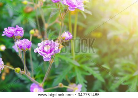 Pink Geraniums Flowers In Nature. Two Blue Cranesbill Flowers, Geranium Blue On A Natural Green Back