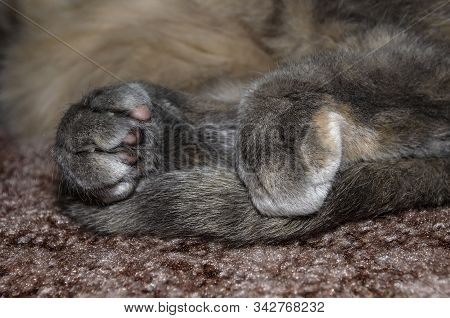 Hind Legs And Tail Of A Gray Recumbent Cat Close Up
