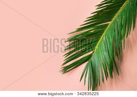 Beautiful Feathery Green Palm Leaf Dangling On Pink Wall Background. Summer Tropical Creative Concep