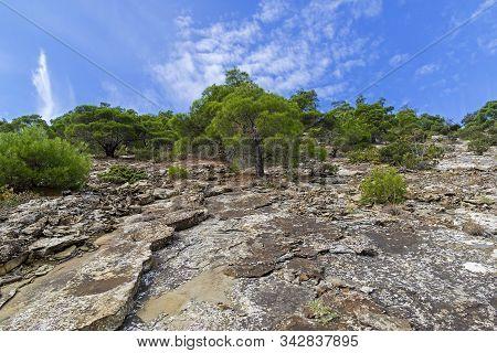 Relict Pine Trees On The Mountainside. Novyy Svet, Crimea. Sunny Day In September.