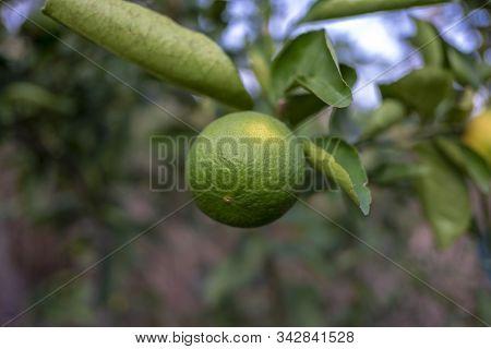 Lemon Tree With Fruits, Beautiful Lemon Tree
