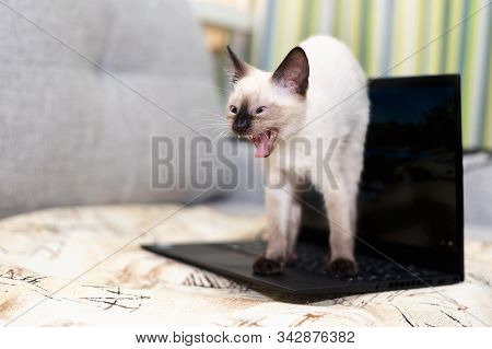 A Frightened Angry Kitten Stands On The Keyboard Of An Open Laptop, Hunched Over And Hisses Openly G